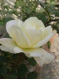 желтый цвет лепестков природы изображения конца красотки предпосылки розовый поднимающий вверх Стоковая Фотография RF