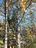 Желтый цвет дерева осени выходит береза Стоковые Изображения RF