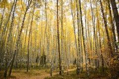Желтый цвет леса ландшафта осени Стоковое Изображение