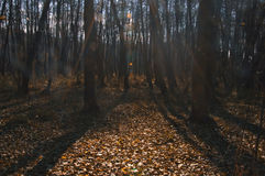 Желтый цвет леса осени выходит солнечный день стоковые изображения
