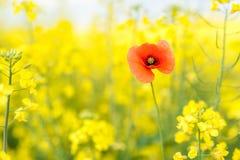желтый цвет лета rapeseed панорамы ландшафта поля Ландшафт Природа сельского района Одна красная шипучка Стоковое фото RF