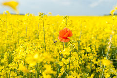 желтый цвет лета rapeseed панорамы ландшафта поля Ландшафт Природа сельского района Одна красная шипучка Стоковое Фото