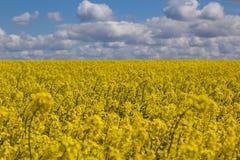 желтый цвет лета rapeseed панорамы ландшафта поля Цветки рапса, селективного focuse Стоковое Изображение