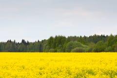 желтый цвет лета rapeseed панорамы ландшафта поля стоковые фотографии rf