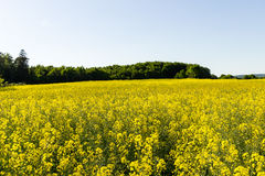 желтый цвет лета rapeseed панорамы ландшафта поля Стоковое фото RF