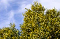 Желтый цвет зацвел дерево, Марокко Стоковая Фотография RF
