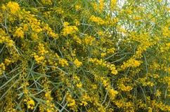 Желтый цвет зацвел дерево, Марокко Стоковое Изображение RF