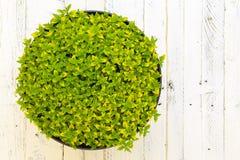 Желтый цвет зеленого цвета завода травы Aureum душицы пряный выходит белое Backgr Стоковое фото RF