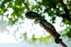 Желтый цвет зеленого цвета змейки wagleri Tropidolaemus ядовитый striped азиат Стоковые Изображения