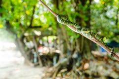 Желтый цвет зеленого цвета змейки wagleri Tropidolaemus ядовитый striped азиат Стоковые Изображения RF