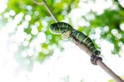 Желтый цвет зеленого цвета змейки wagleri Tropidolaemus ядовитый striped азиат Стоковая Фотография RF