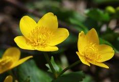 желтый цвет зеленого цвета цветка крупного плана предпосылки Стоковая Фотография RF