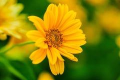 желтый цвет зеленого цвета цветка предпосылки Стоковые Изображения RF