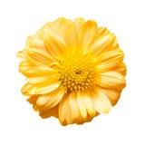 желтый цвет изолированный цветком стоковое фото rf