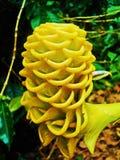 Желтый цвет имбиря Spectabilis Стоковые Фотографии RF