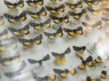Желтый цвет дисплея бабочки музея природы Стоковые Изображения