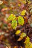 желтый цвет листьев осени Стоковое Изображение RF