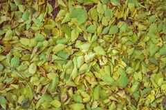 желтый цвет листьев осени Стоковые Изображения