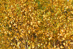 желтый цвет листьев осени Стоковая Фотография