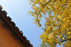 Желтый цвет лист гинкго Стоковое Фото