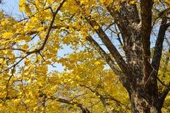 Желтый цвет лист гинкго Стоковые Изображения