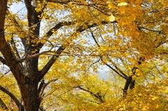Желтый цвет лист гинкго Стоковые Фотографии RF