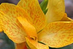 Желтый цвет лилии Canna Стоковые Фотографии RF
