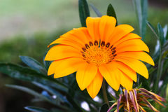 Желтый цвет и контраст Gerbera стоковое фото