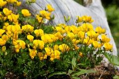 Желтый цвет и серый цвет; alpinus лотоса Стоковое Изображение
