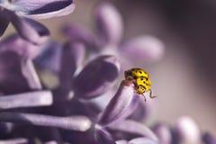 Желтый цвет и сирень Ladybug Стоковые Фотографии RF