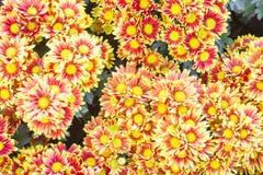 желтый цвет картины сердца цветков падения бабочки флористический Предпосылка от различных цветков Стоковое Изображение