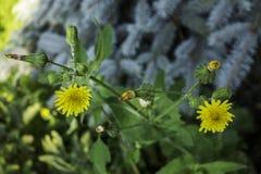 желтый цвет картины 3 цветков Стоковая Фотография