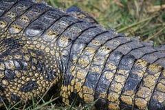 желтый цвет кожи крокодила красный Стоковое Изображение