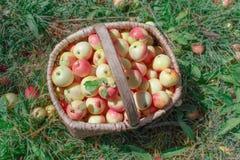 желтый цвет корзины яблок красный Здоровые органические яблоки в t Стоковые Изображения RF