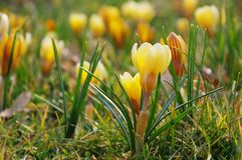 Желтый цвет крокуса Стоковые Фотографии RF