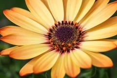 Желтый цвет 3 маргаритки Cream Стоковое Фото