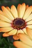 Желтый цвет 2 маргаритки Cream Стоковое Фото