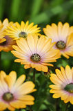 Желтый цвет 2 маргариток Cream Стоковые Фотографии RF