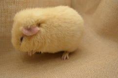 Желтый цвет морской свинки Стоковые Фотографии RF