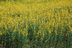 желтый цвет мустарда поля цветений Стоковые Фото