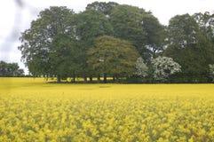 желтый цвет мустарда поля цветений Стоковые Изображения