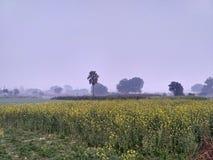 желтый цвет мустарда поля цветений Стоковое Изображение