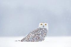 Желтый цвет наблюдает в белизне Сцена зимы с белым сычом Сыч Snowy, scandiaca Nyctea, редкая птица сидя на снеге, снежинки в ветр стоковое фото rf