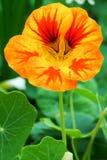 Желтый цвет 1 настурции оранжевый Стоковая Фотография