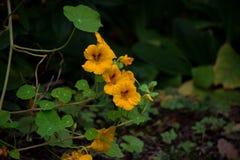 желтый цвет настурций Стоковая Фотография