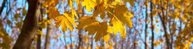 Желтый цвет, оранжевые листья осени клена Стоковое фото RF