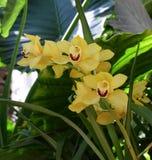 Желтый цвет орхидеи Phalenopsis Стоковое Изображение RF