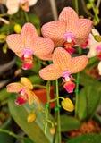 Желтый цвет орхидеи Vanda тайский и розовая яркая Стоковые Фотографии RF