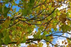 Желтый цвет осени выходит против неба на предпосылку совмещать созданное различное изображение 3 hdr листва падения выдержек Стоковые Фотографии RF