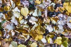 Желтый цвет осени известки упаденный листьями Стоковые Изображения